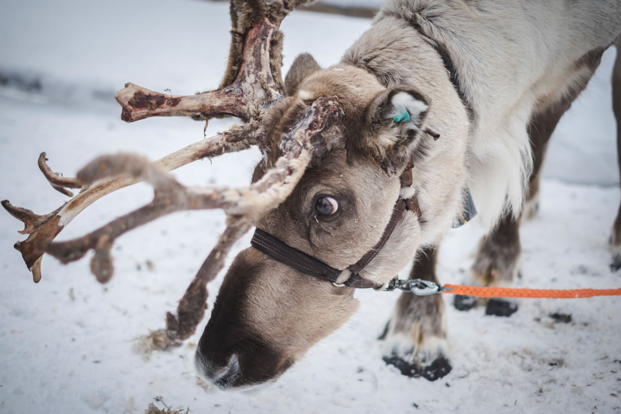 Christmas Reindeer Story 2021 Second Day Of Christmas In Sweden In 2021 Office Holidays