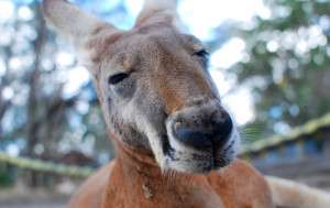 In Australia, there are more kangaroos than people.