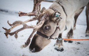 Reindeer antlers grow at a rate of more than an inch a day, making them the fastest growing tissue of any mammal.