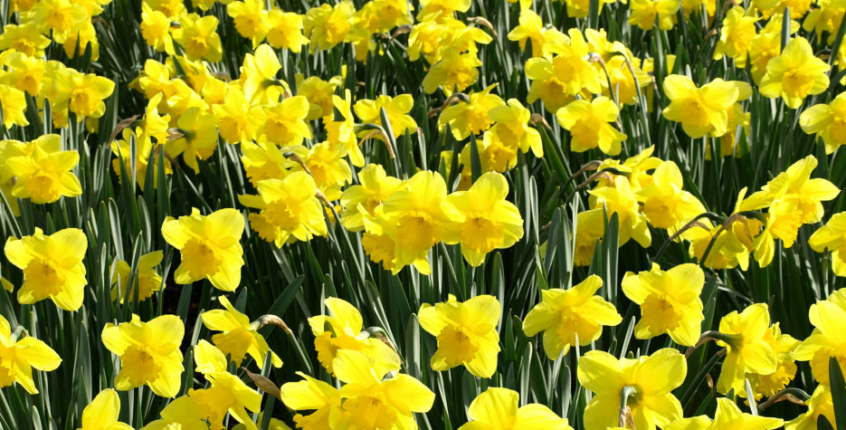 St. David's Day around the world in 2020